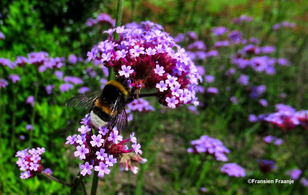Een hommel is druk bezig met de zoektocht naar nectar - Foto: ©Fransien Fraanje