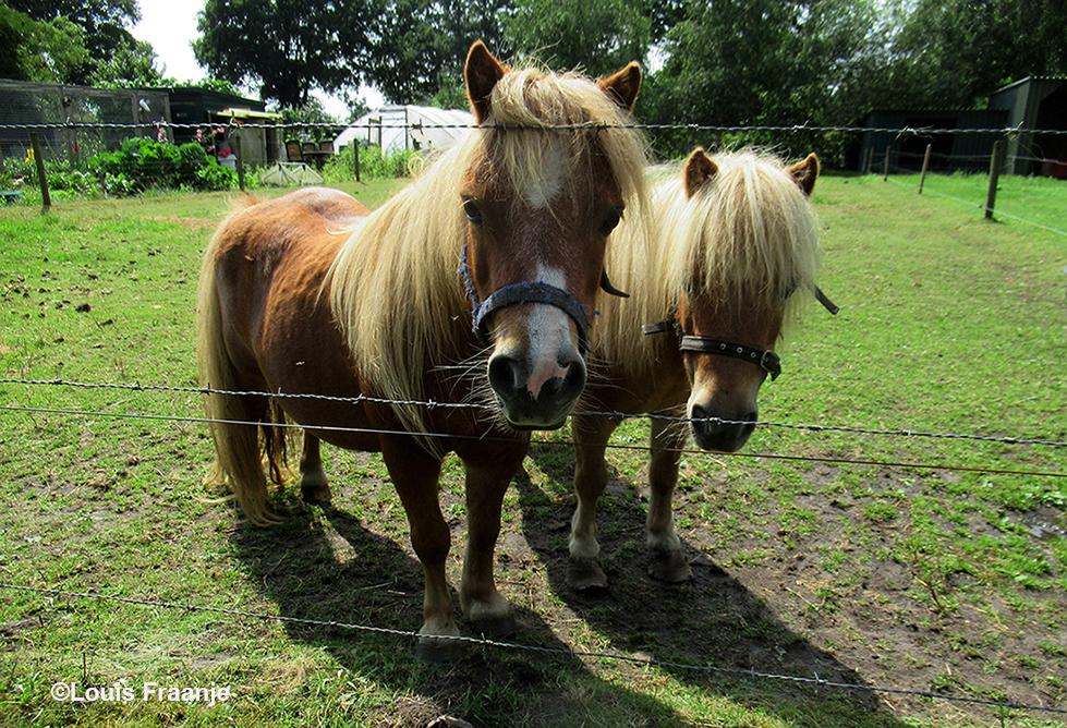 5 - En even verderop stonden deze twee pony's te koekeloeren - Foto: ©Louis Fraanje