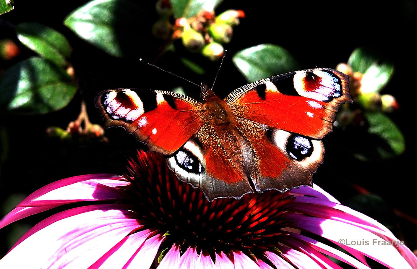 Even verderop zat een prachtige Dagpauwoog Foto: ©Louis Fraanje