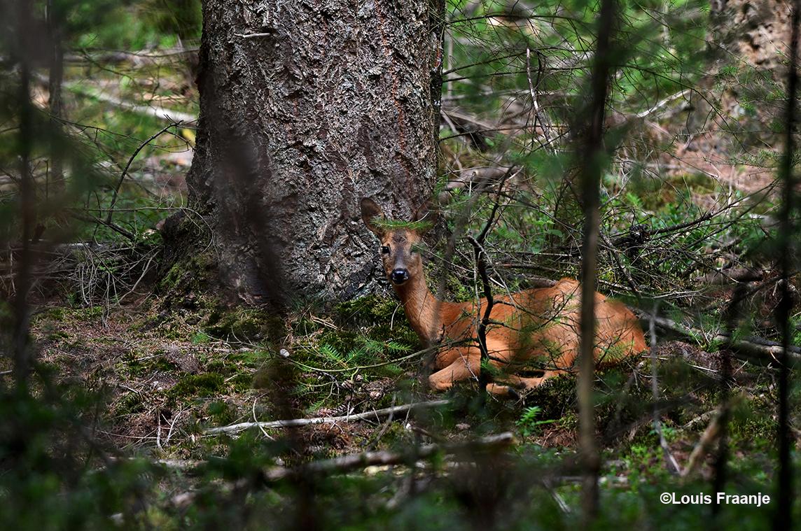 Iets verderop had ze ergens onder een oude Douglas een beter plekje gevonden - Foto: ©Louis Fraanje
