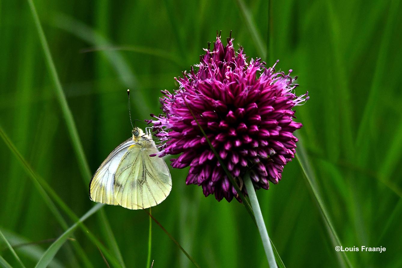 Een Klein Geaderd Witje haalt de nectar uit de paarse Trommelstok bloem - Foto: ©Louis Fraanje