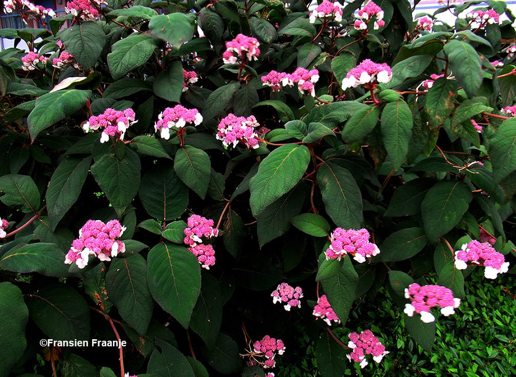 De Fluweelhortensia (Hydrangea aspera) - Foto:© Fransien Fraanje