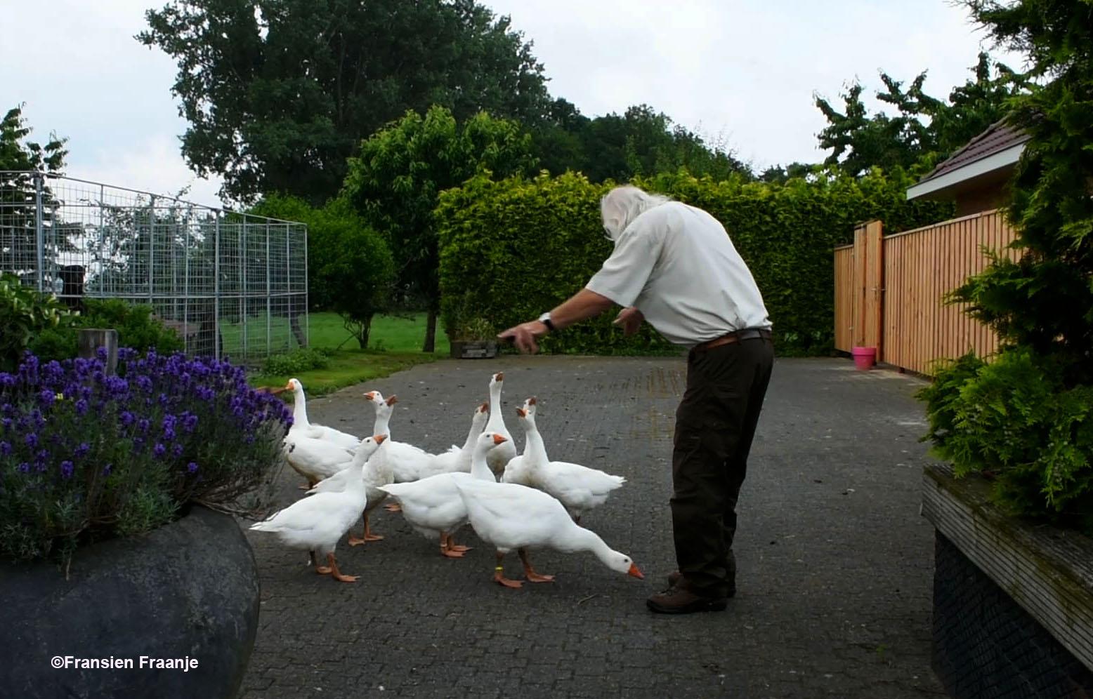 Op een boerenerf probeert Louis een koppel ganzen het zwijgen op te leggen... - Foto: ©Fransien Fraanje