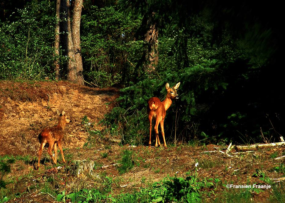 Ergens op een heuvel laat reegeit zich zien, en dan ook nog een kalfje - Foto: ©Fransien Fraanje