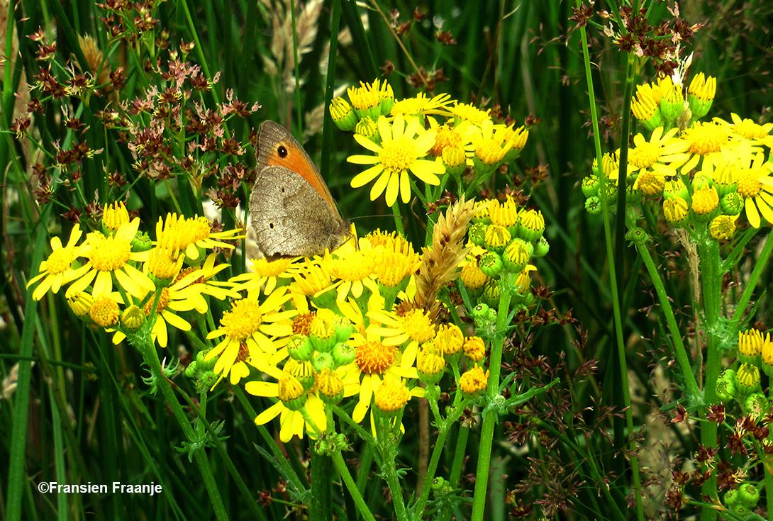 Een bruin Zandoogje op het gele Jacobs kruiskruid - Foto: ©Fransien Fraanje