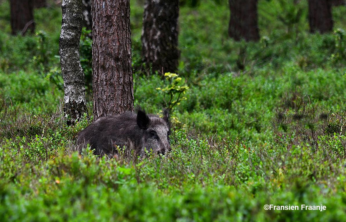 Zomaar ineens staat er een wild zwijn tussen de bosbessenstruiken te loeren - Foto: ©Fransien Fraanje