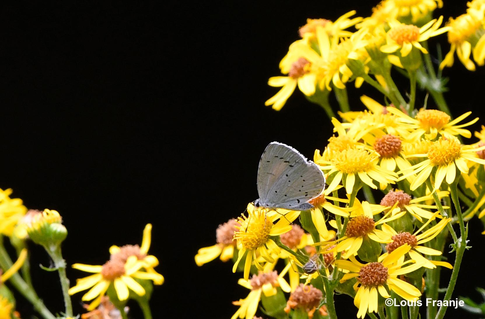 Het Boomblauwtje met ingeklapte vleugels op het Jacobskruiskruid - Foto: ©Louis Fraanje