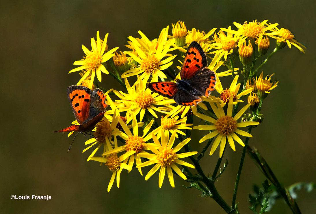 Kleine vuurvlinders op het Jacobskruiskruid - Foto: ©Louis Fraanje