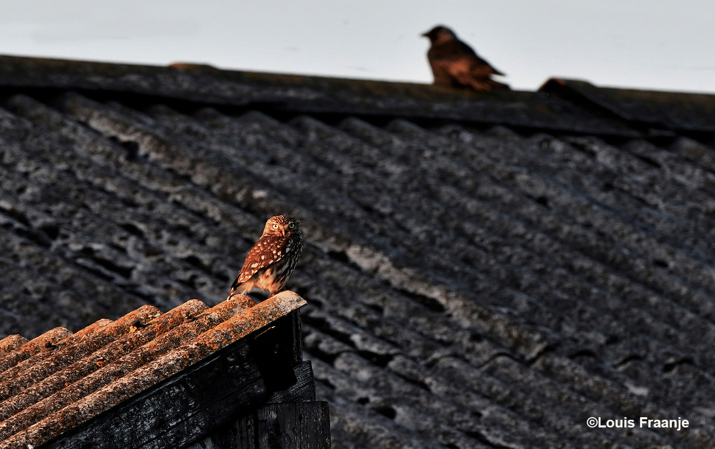 Het steenuiltje op het dak van een oude veldschuur, op de achtergrond zat een kauwtje - Foto: ©Louis Fraanje