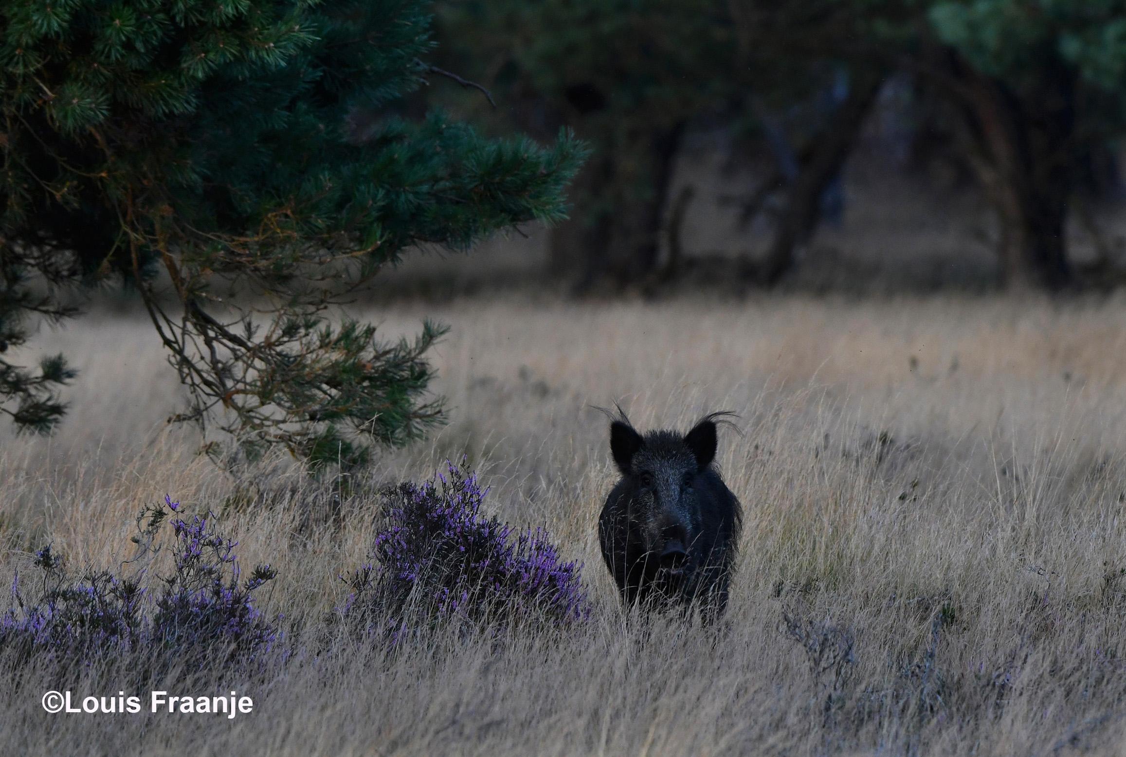 Naast de bloeiende heidestruik stond het zwijn onze kant op te kijken. Een mooie opening van deze wildavond - Foto: ©Louis Fraanje