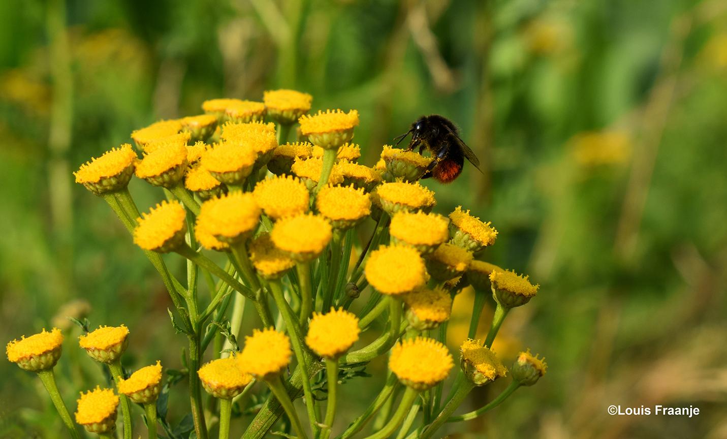 Een honingbij op het gele Boerenwormkruid - Foto: ©Louis Fraanje