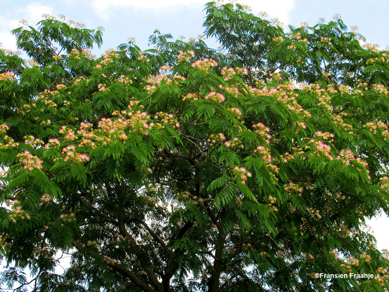 In Achterberg zien we bij iemand in de tuin deze prachtige Zijdeboom staan - Foto: ©Fransien Fraanje
