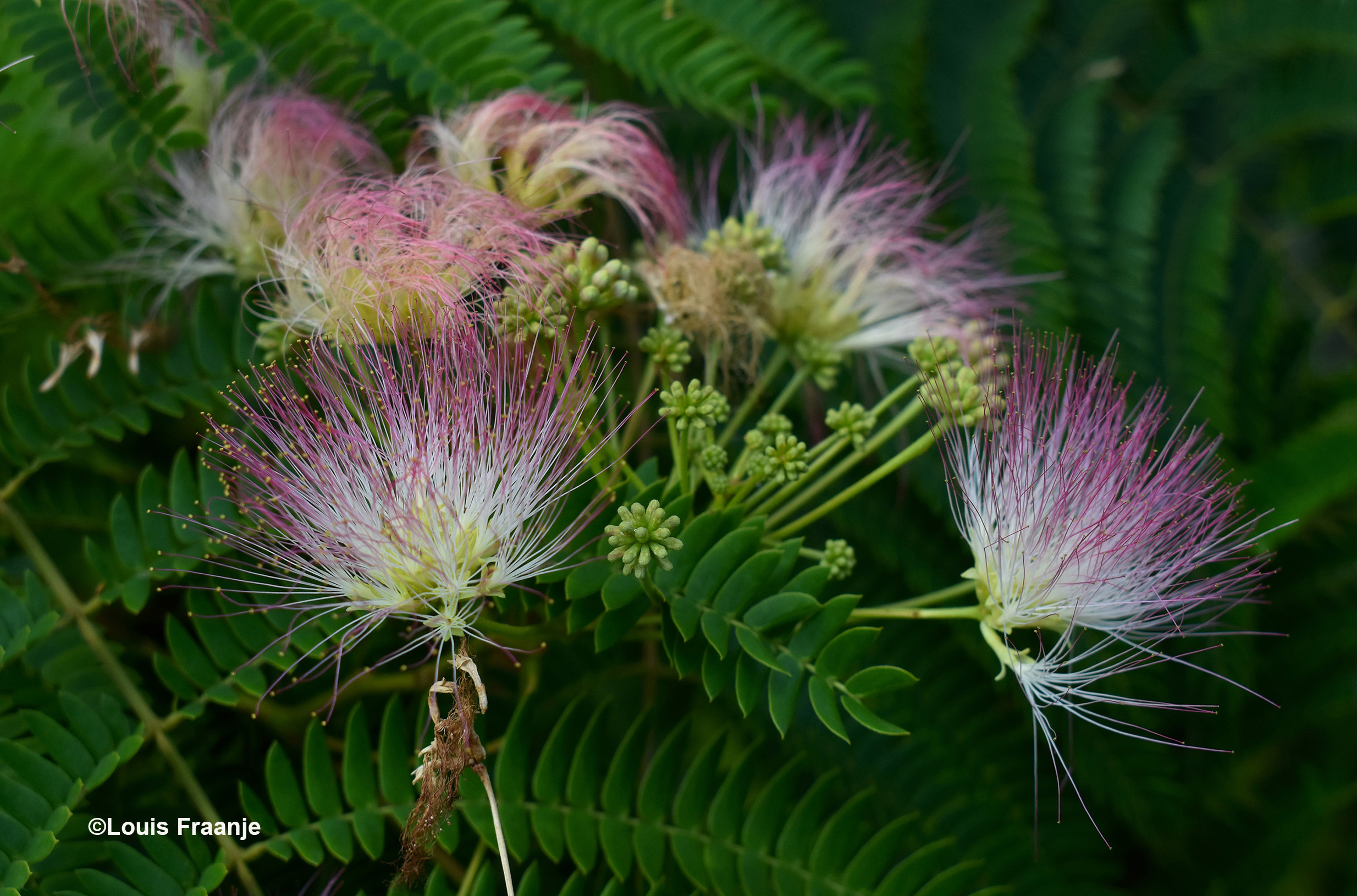 Dit is de uitbundige bloeiwijze van de boom - Foto: ©Louis Fraanje