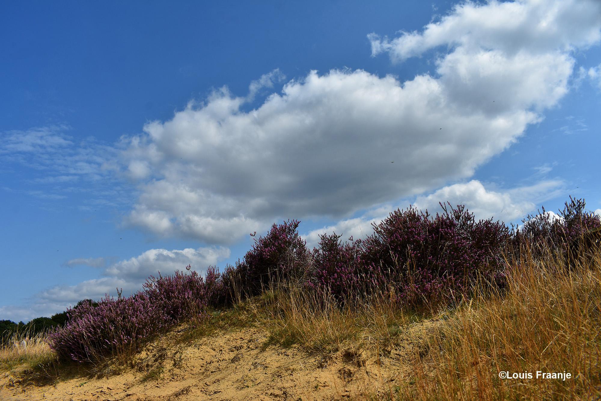 Bloeiende heide tegen een zandheuvel, met daarachter een blauwe lucht met witte wolken - Foto: ©Louis Fraanje