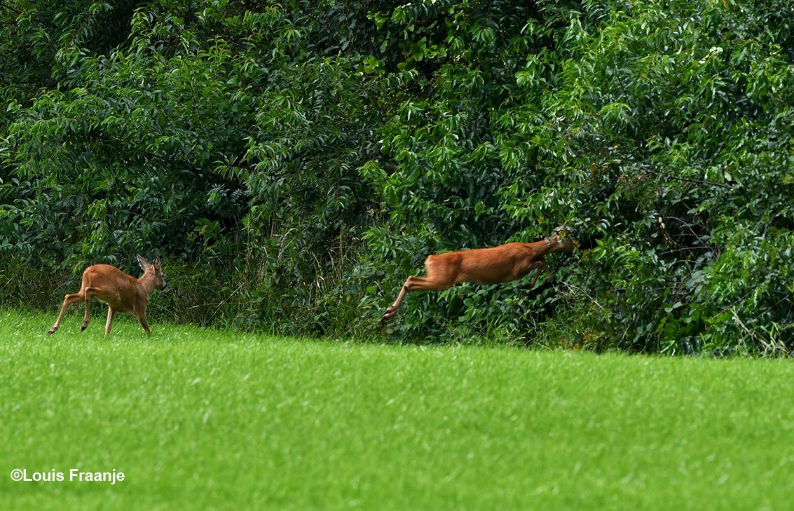 Met een grote sprong verdwenen ze in het struikgewas - Foto: ©Louis Fraanje