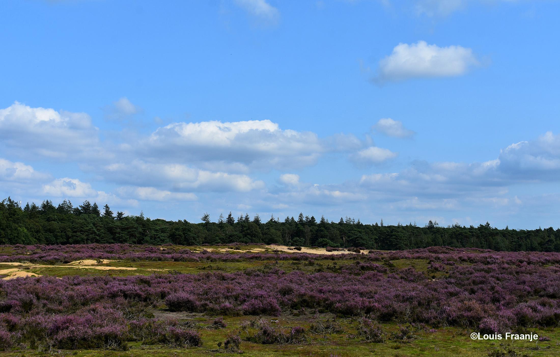 Nadat we de weg zijn overgestoken naar de Ginkelse Heide, kunnen we verder genieten van het paarse tapijt - Foto: ©Louis Fraanje
