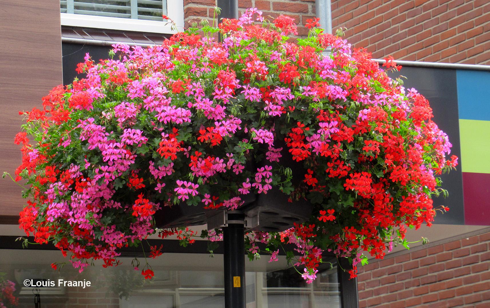 Overal in het centrum van Lunteren hangen deze prachtige hanging baskets, vol met kleurrijke geraniums - Foto: ©Louis Fraanje