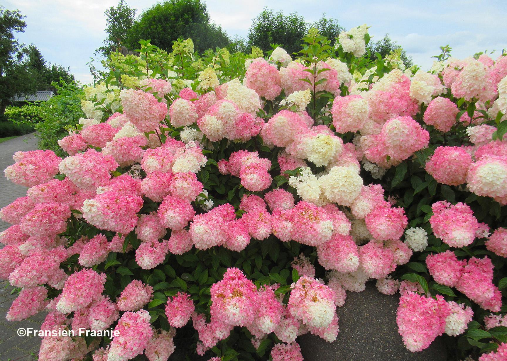 Op weg naar huis passeren we op de Heremeijesteeg deze uitbundig bloeiende Hortensia's - Foto: ©Fransien Fraanje