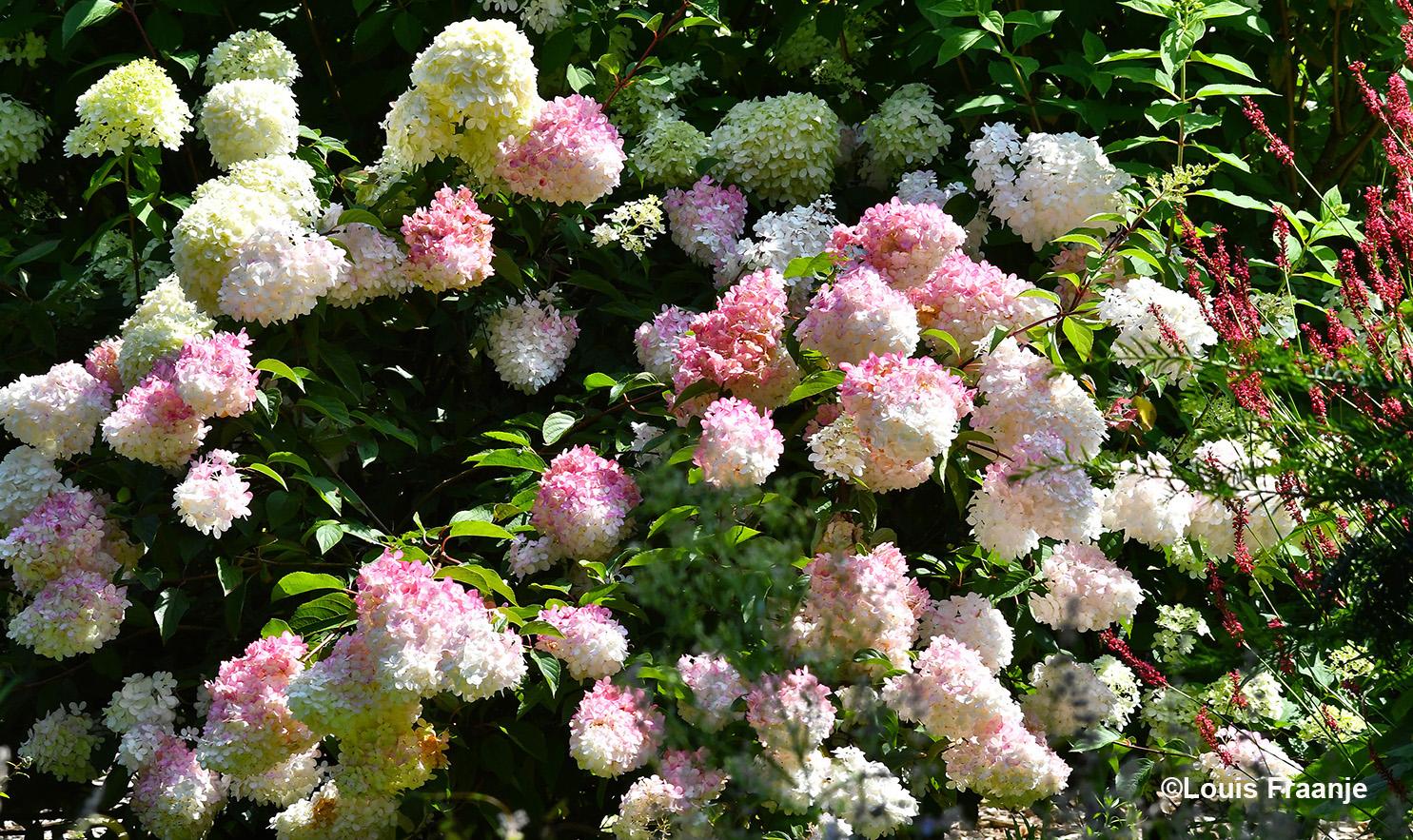 Prachtige Hortensia's om van te genieten - Foto: ©Louis Fraanje