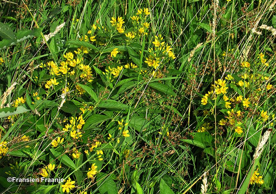 De gele wederik springt er tussenuit - Foto: ©Fransien Fraanje