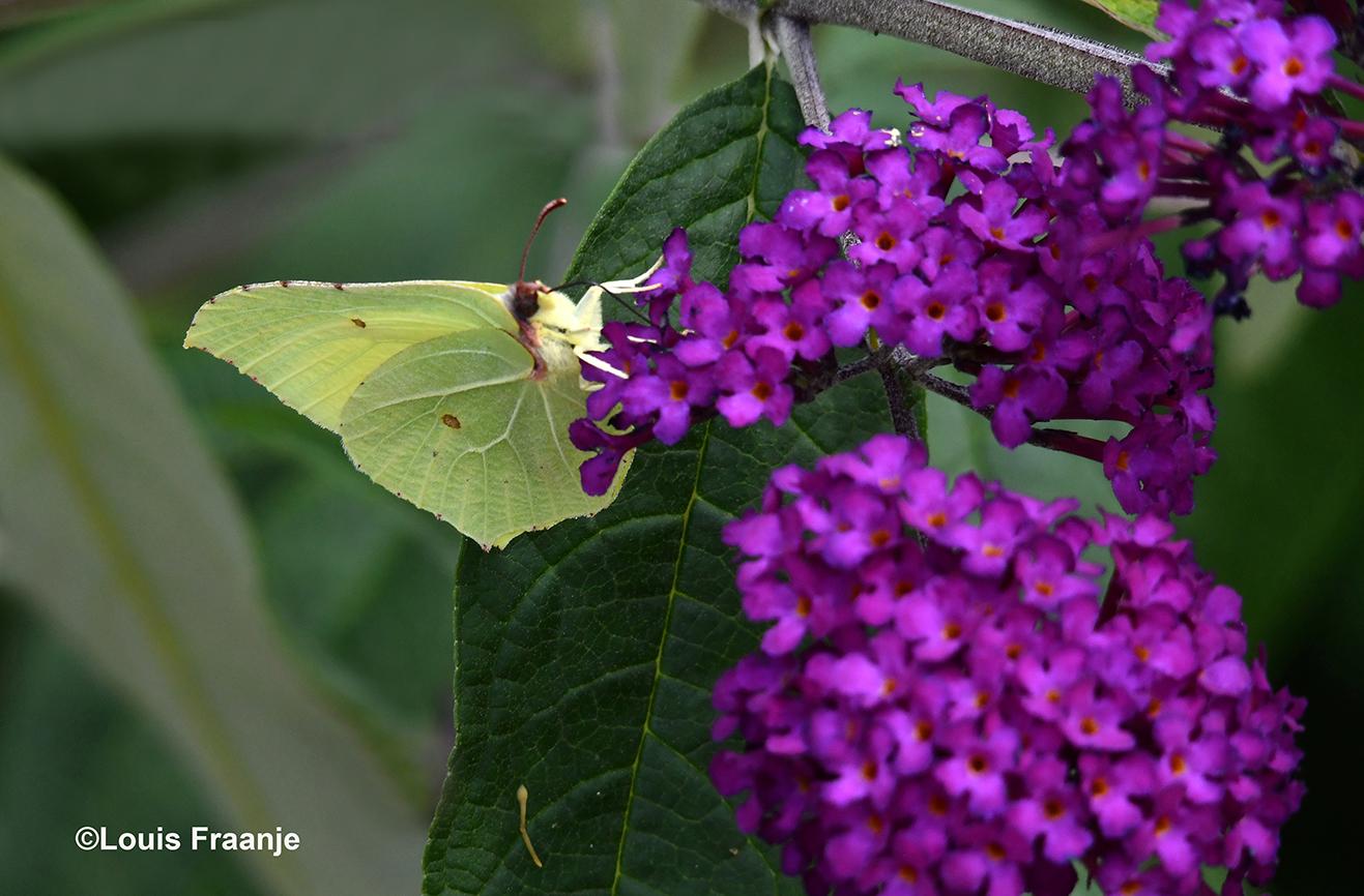 De citroenvlinder is druk bezig met nectar zoeken op de Buddleja - Foto: ©Louis Fraanje