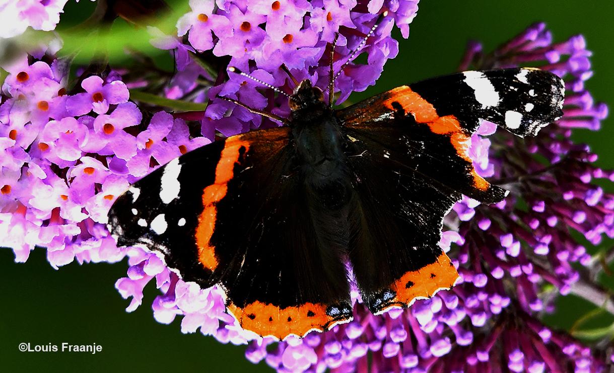 De Atalanta is een vlinder, die een speciaal plekje in ons hart heeft. En ondanks de beschadigde vleugel, vloog ze onverstoord van bloem tot bloem - Foto: ©Louis Fraanje