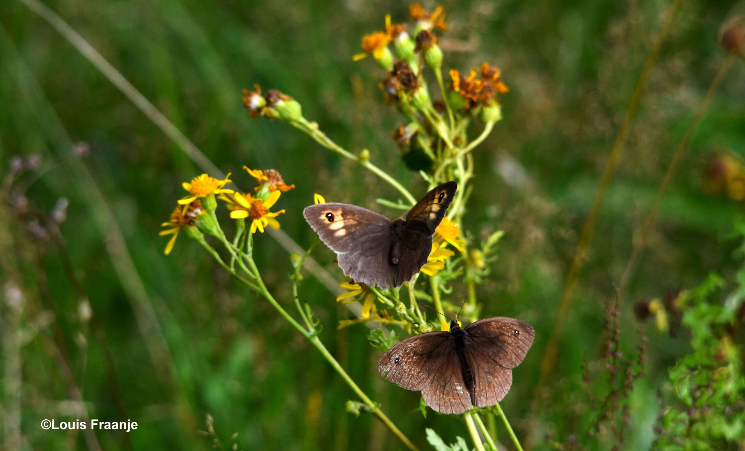 Het vrouwtje(boven) en mannetje(onder) van het bruin zandoogje - Foto: ©Louis Fraanje