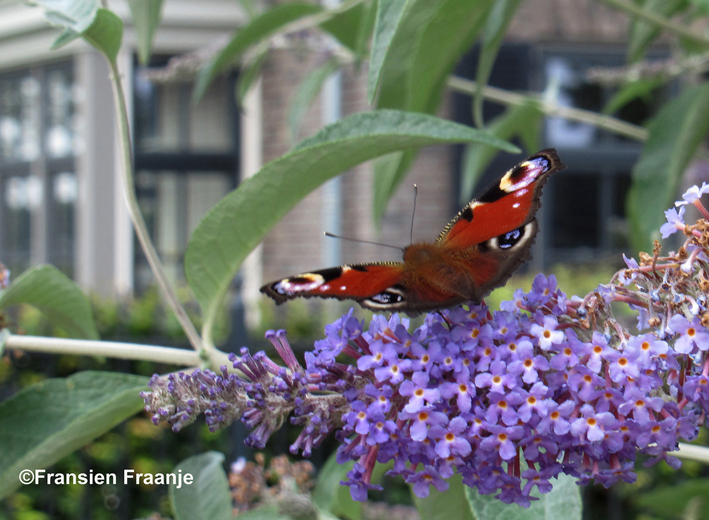 En de prachtige Dagpauwoog sluit de rij van vlinders hier - Foto: ©Fransien Fraanje