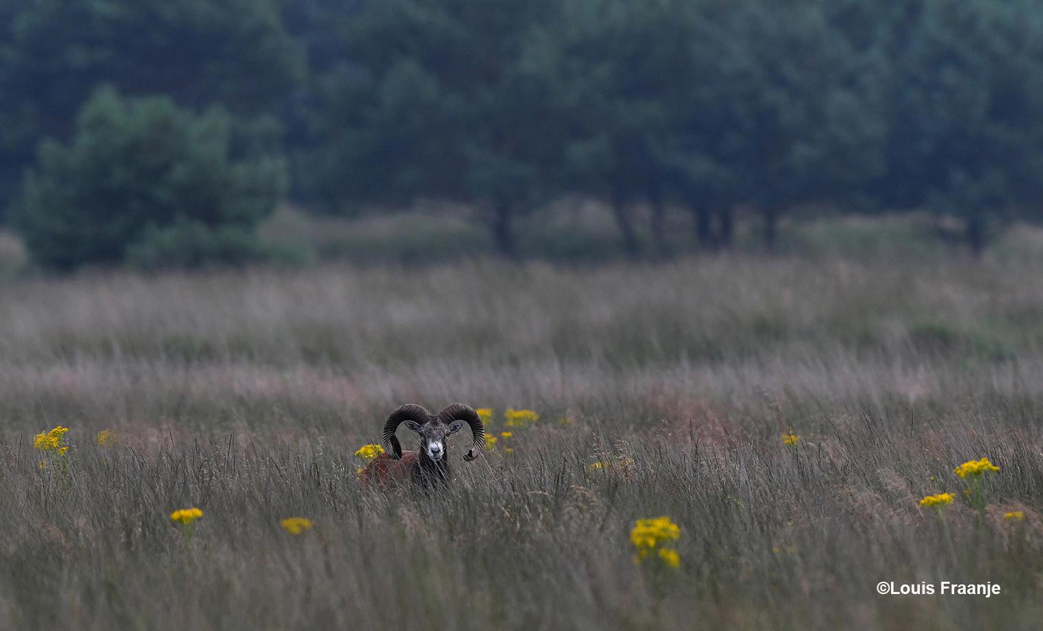 Oog in oog met een moeflonram, let op het uiteinde van de linkerhoorn, daar is een stukje afgebroken - Foto: ©Louis Fraanje