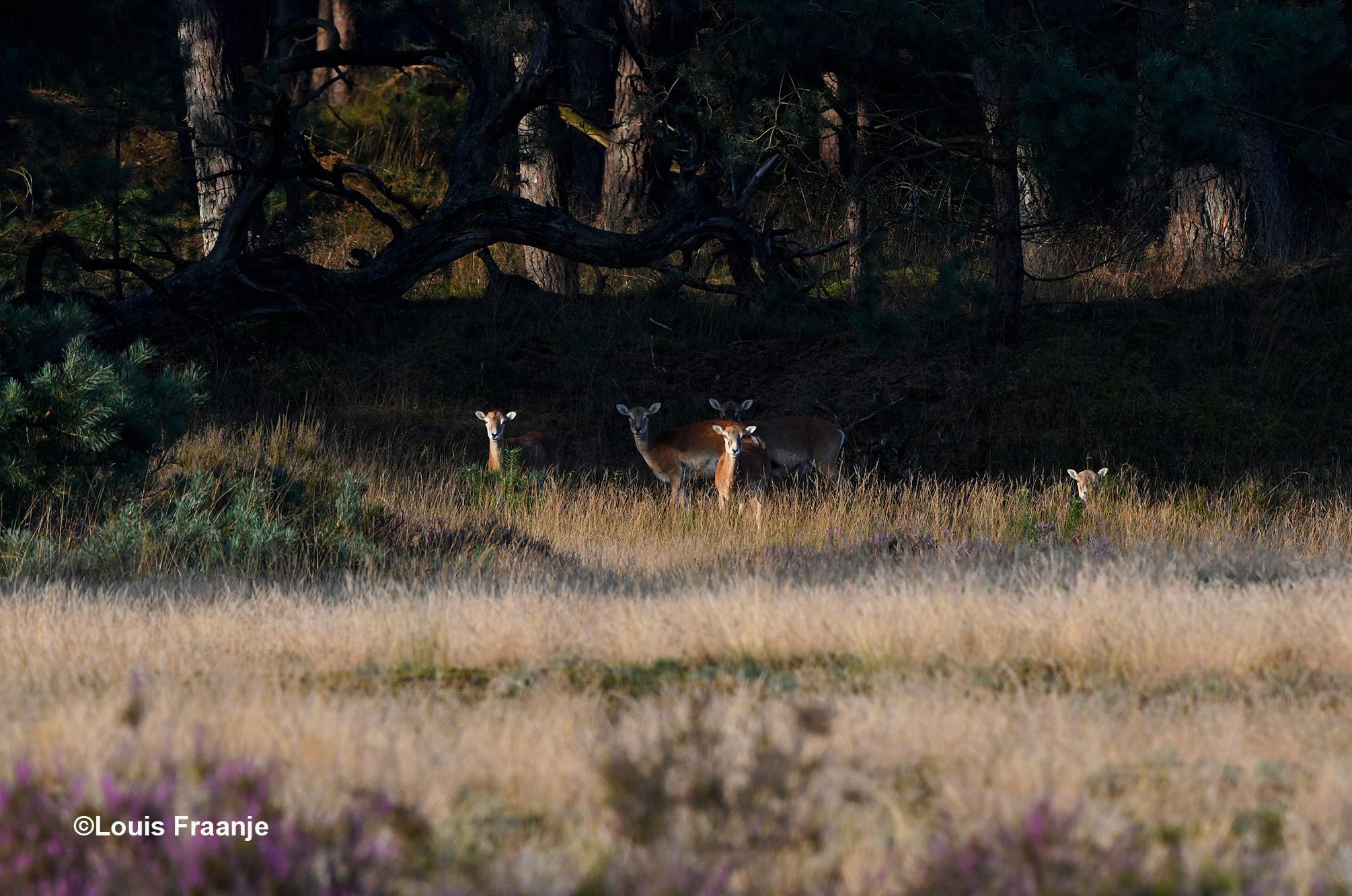 Een kleine groep moeflon-ooien in de schaduw van de bosrand - Foto: ©Louis Fraanje