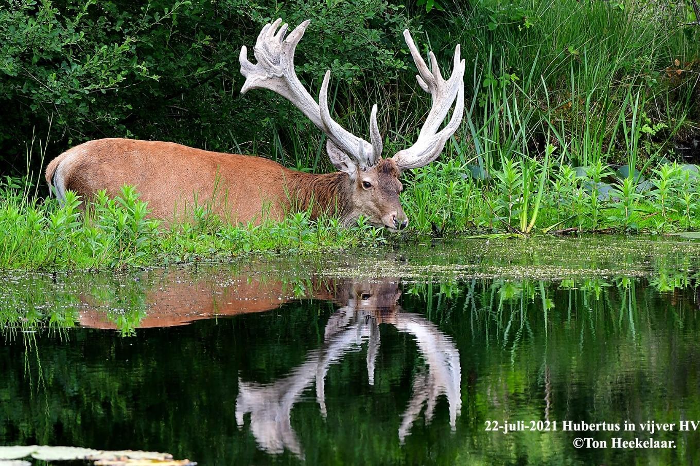 Hubertus bekijkt d.d. 22-juli-2021 in de spiegel van het wateroppervlak nabij het pompgebouw op de HV hoe mooi zijn imposante bastgewei -als ongelijk 26-ender- dit jaar is ontwikkeld - Foto: ©Ton Heekelaar.