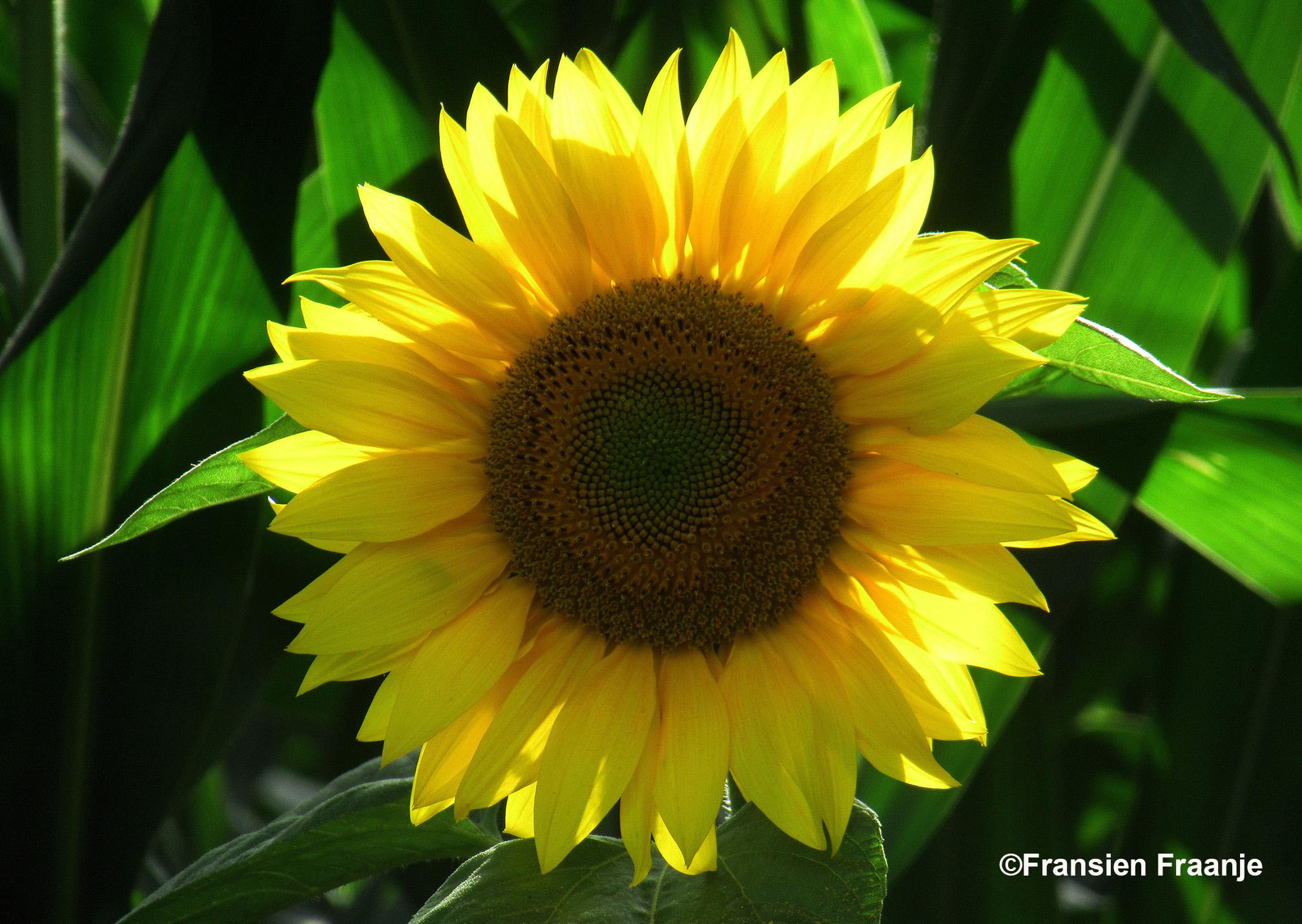 Een mooie close up van deze prachtige zonnebloem - Foto: ©Fransien Fraanje