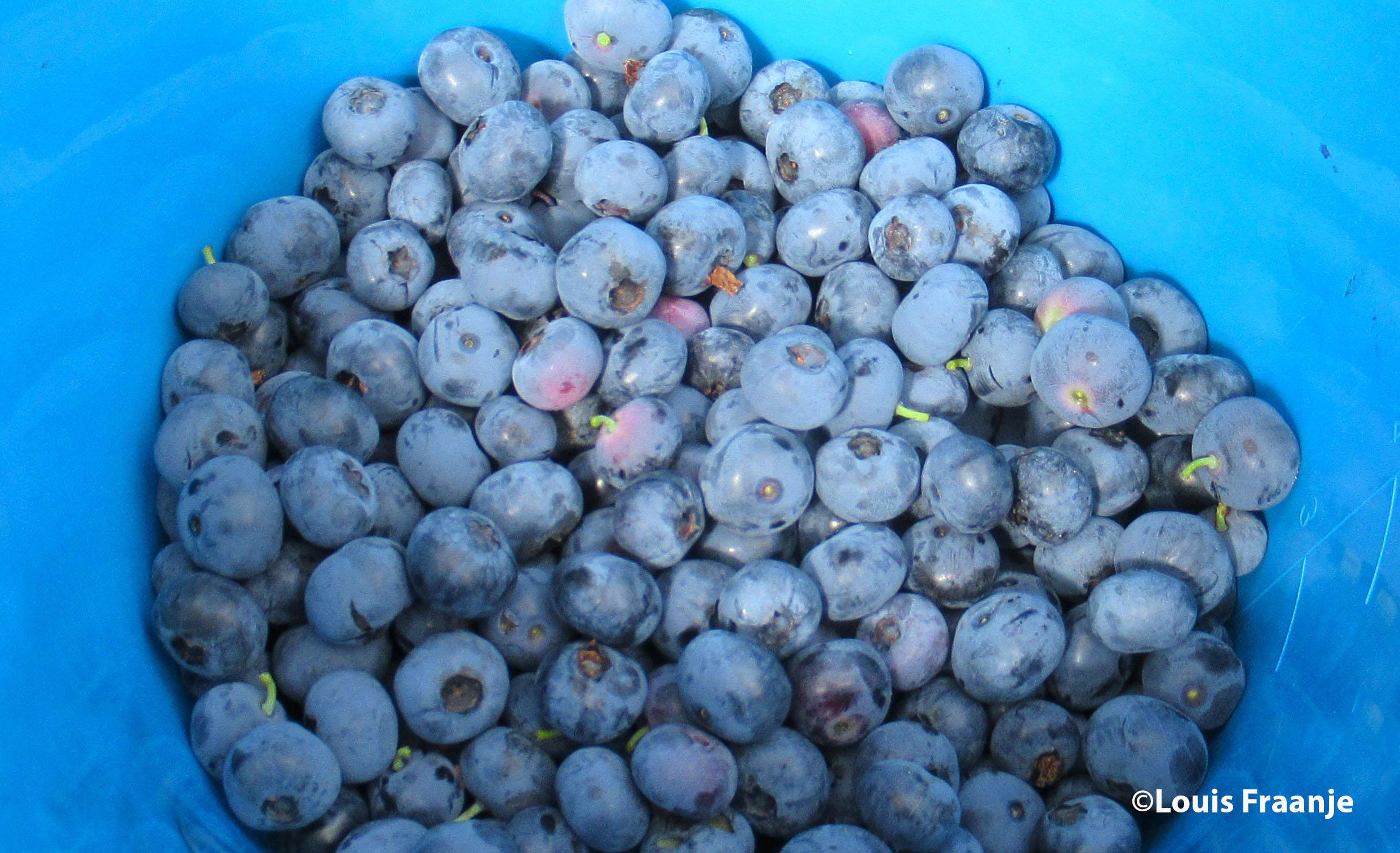 Blauwe bessen zijn super gezond. Uurtje plukken... emmertje vol. Bij elkaar zo'n drie en halve kilo! - Foto: ©Louis Fraanje