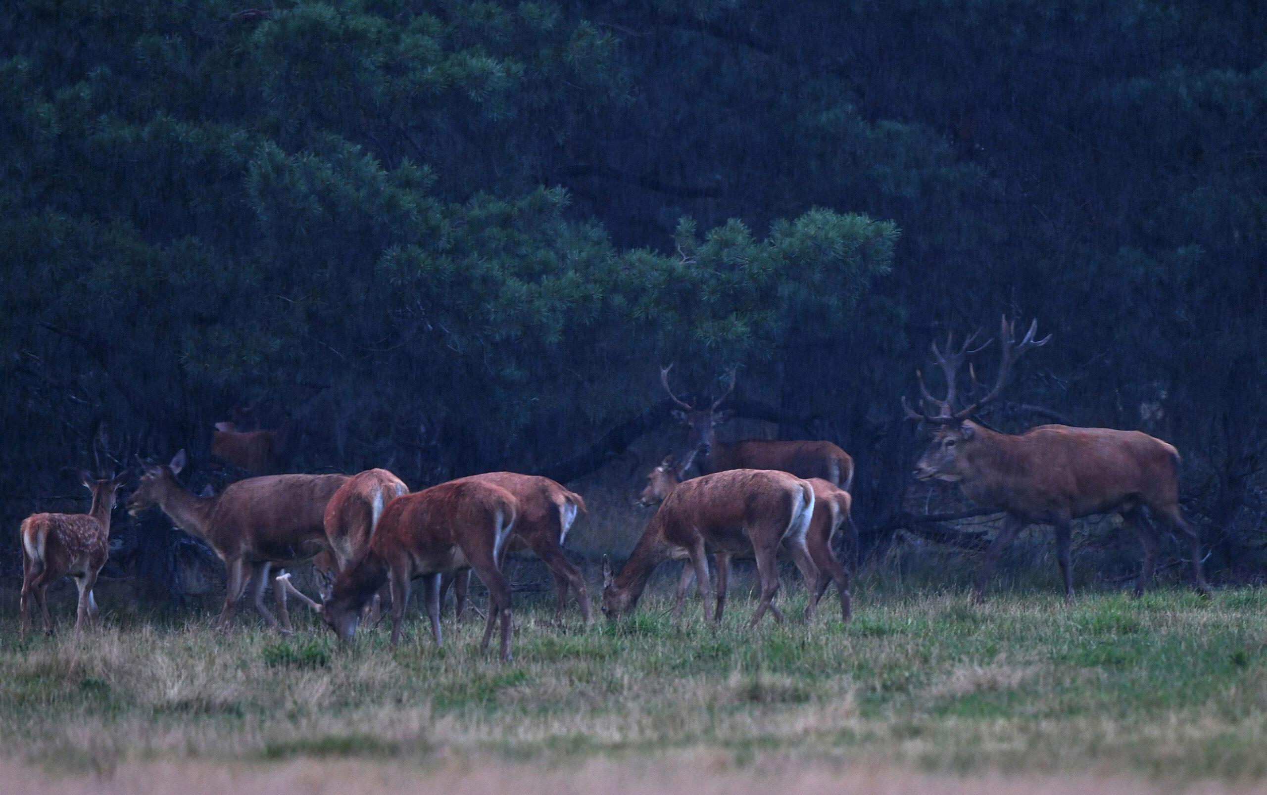 Als het dan begint te regenen trekt het bronstroedel de bossen in - Foto: ©Louis Fraanje