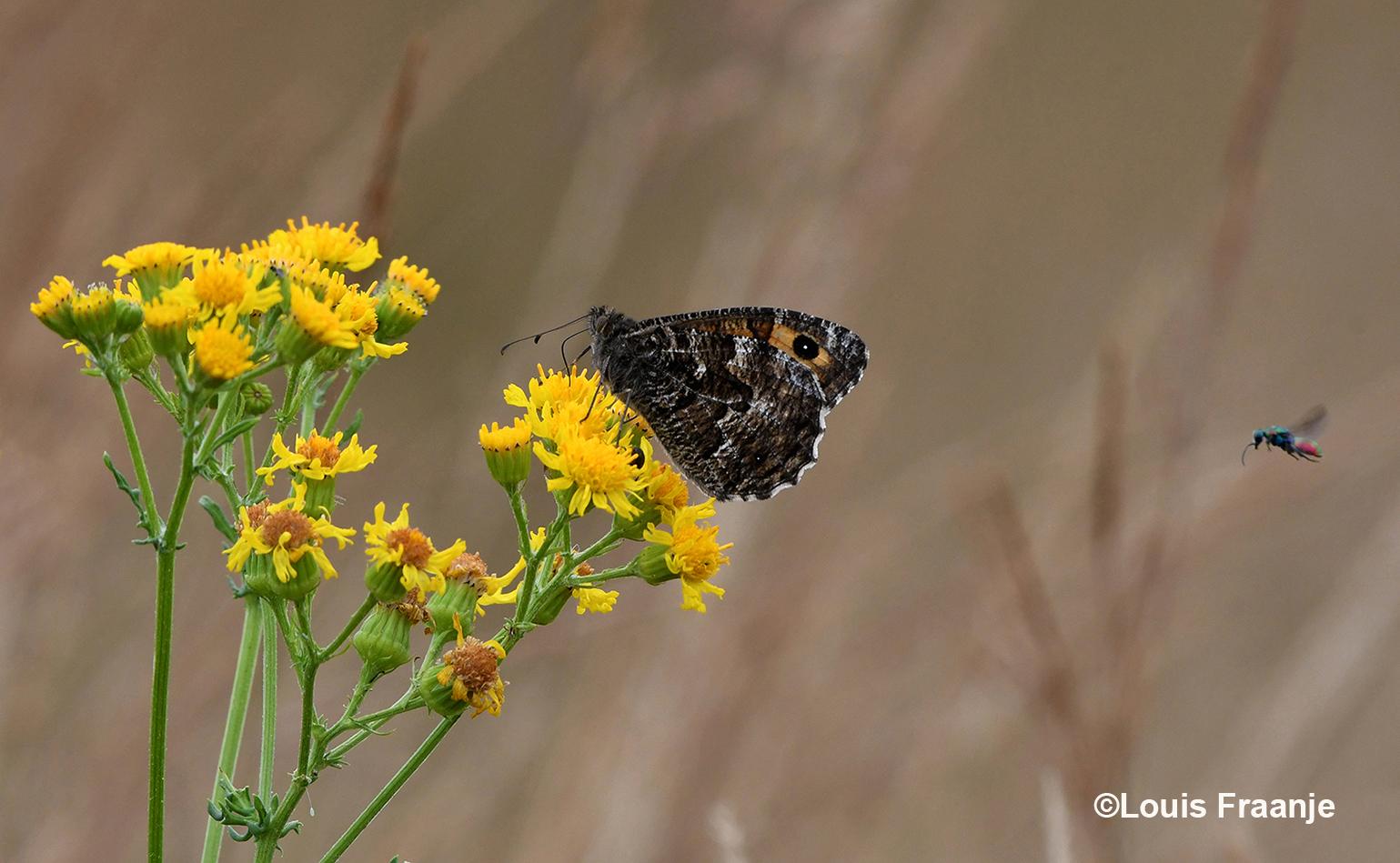 Terwijl de heivlinder nectar uit de bloemen haalt, komt er nog een klein insect aanvliegen - Foto: ©Louis Fraanje