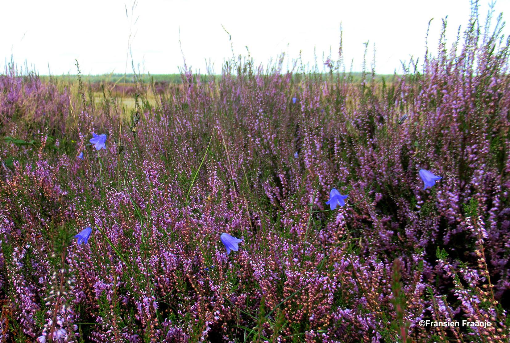 Maar als we even later deze prachtige blauwe Grasklokjes ontdekken in de heide, zijn we weer helemaal blij - Foto: ©Fransien Fraanje