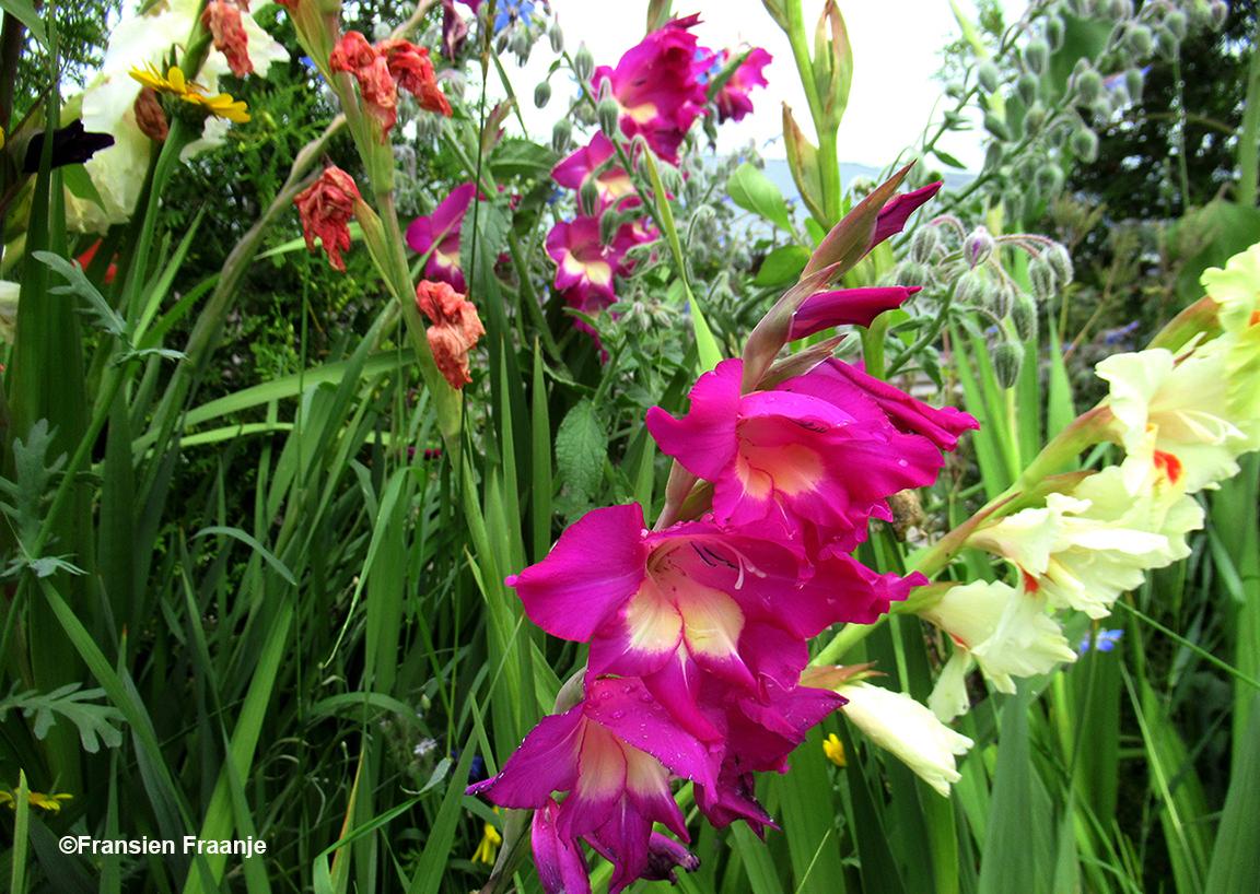 Kleurrijke gladiolen in overvloed - Foto: ©Fransien Fraanje