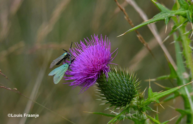 Op zo'n paarse distel vallen ze wel direct op met hun glanzend metallic groene vleugels - Foto: ©Louis Fraanje