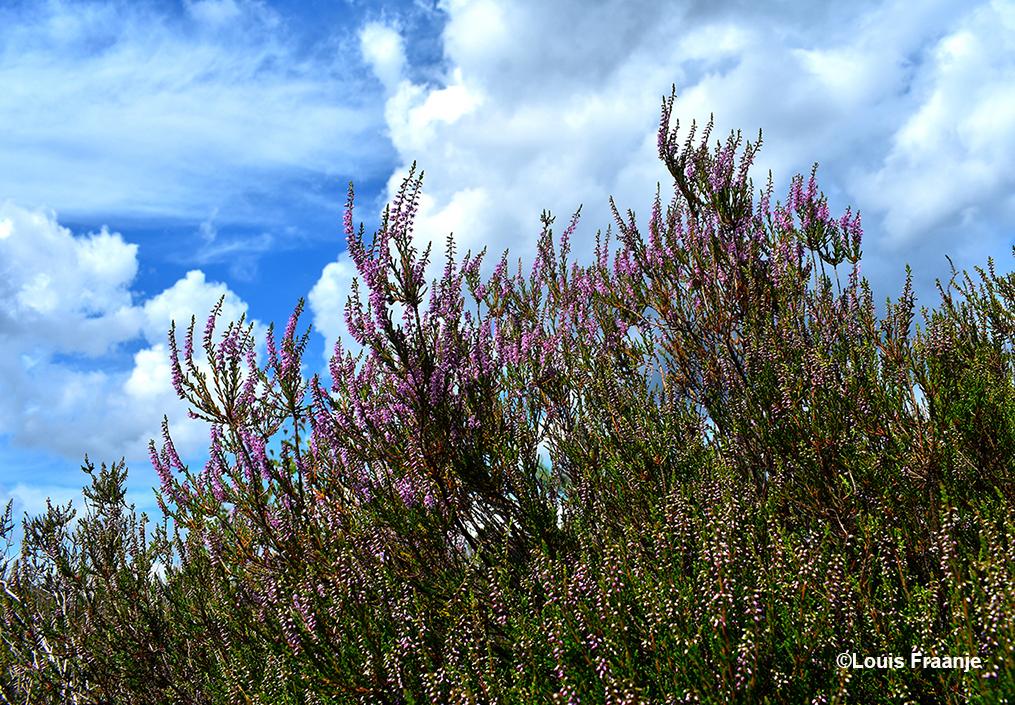 Mooi om te zien en heerlijk om te ruiken - Foto: ©Louis Fraanje