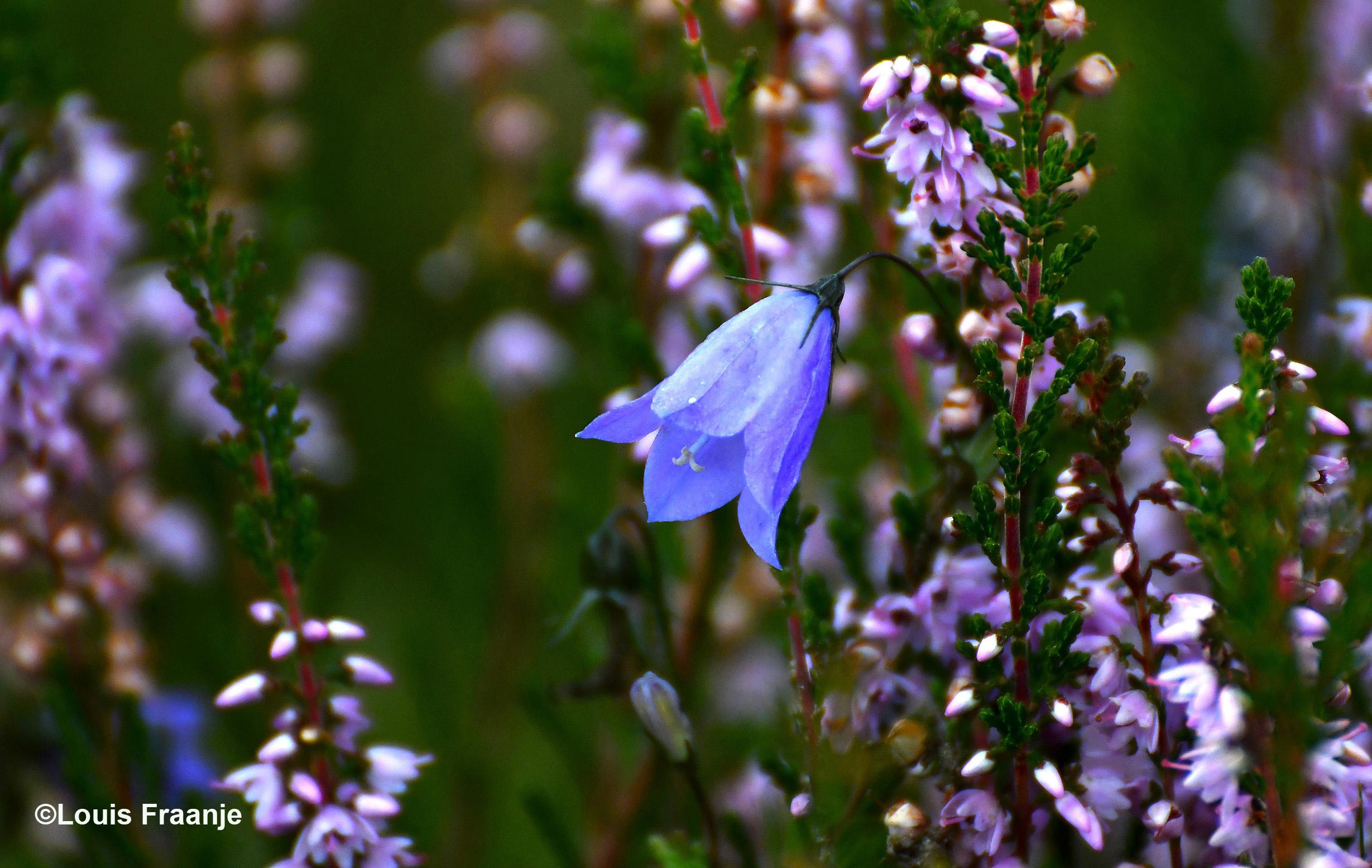 Hoe mooi kan het zijn, zo'n klein blauw Grasklokje tussen al dat paars - Foto: ©Louis Fraanje