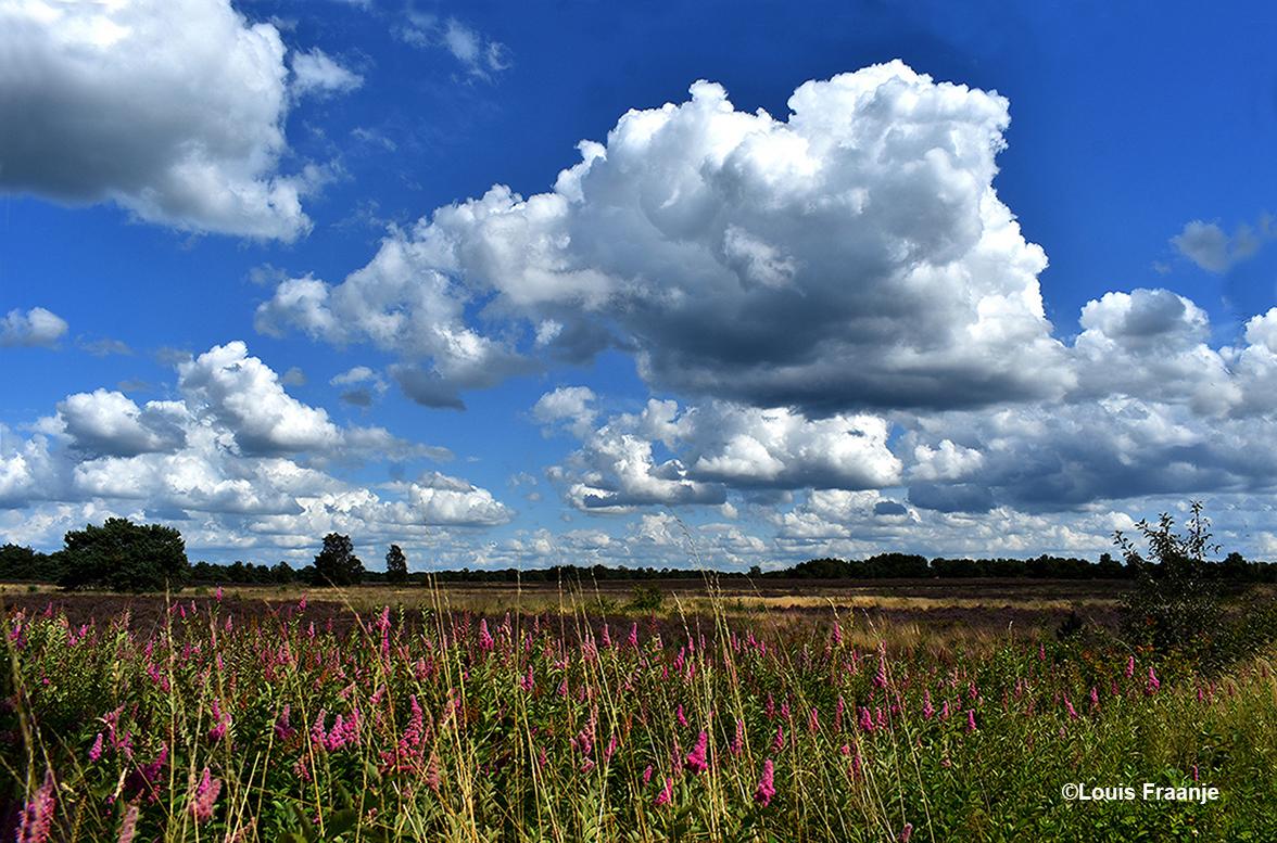 De heide langs de Middenweg met op de voorgrond de paarse pluimen van .... ?- Foto: ©Louis Fraanje