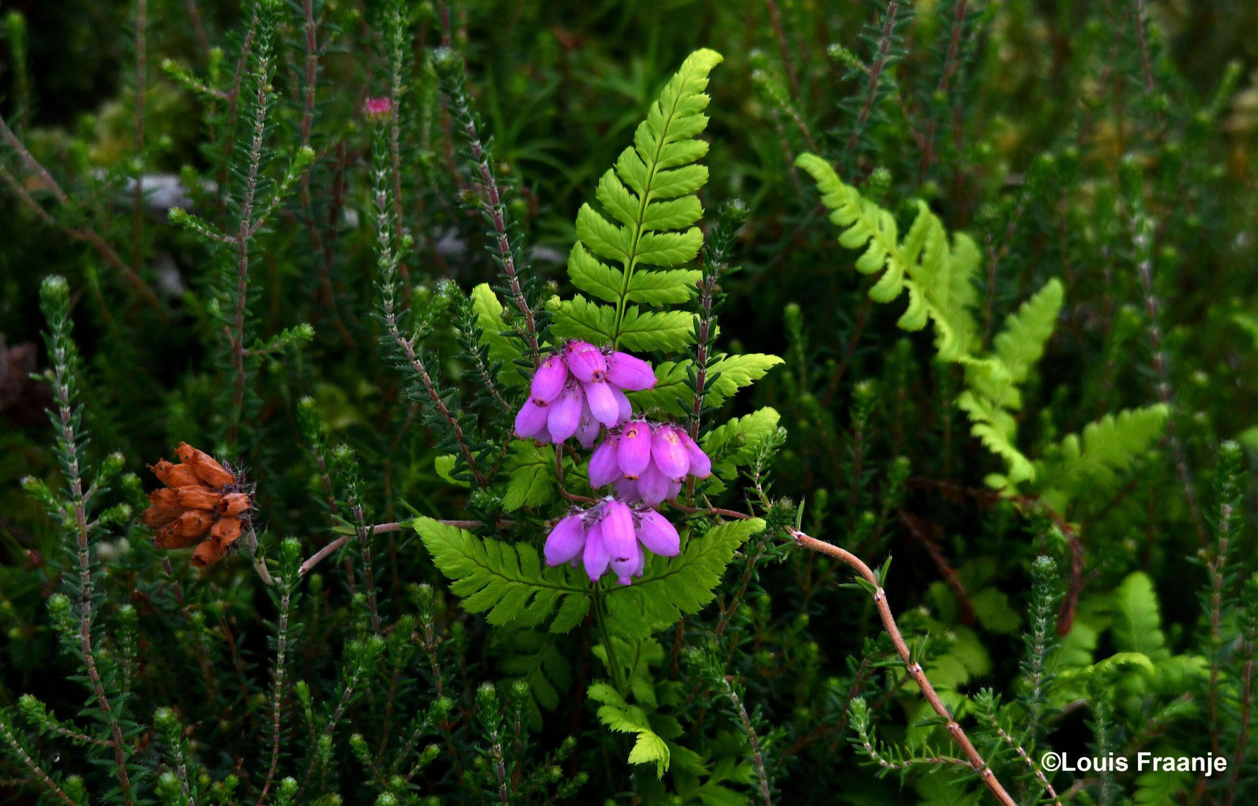 en schitterend paars 'pareltje' tussen het groen naast ons wandelpad - Foto: ©Louis Fraanje