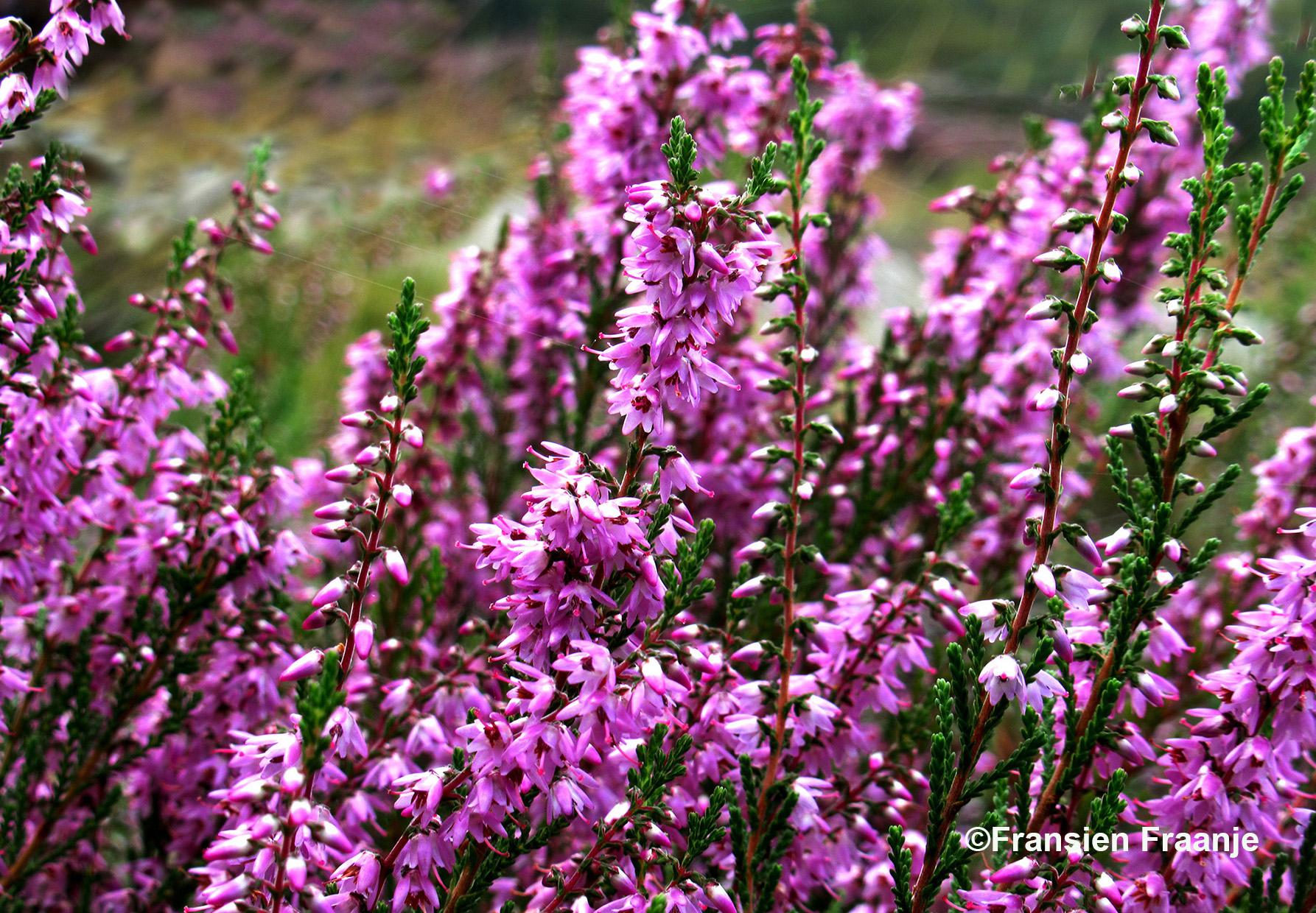 De prachtige paarse heidebloempjes van de struikheide - Foto: Fransien Fraanje.