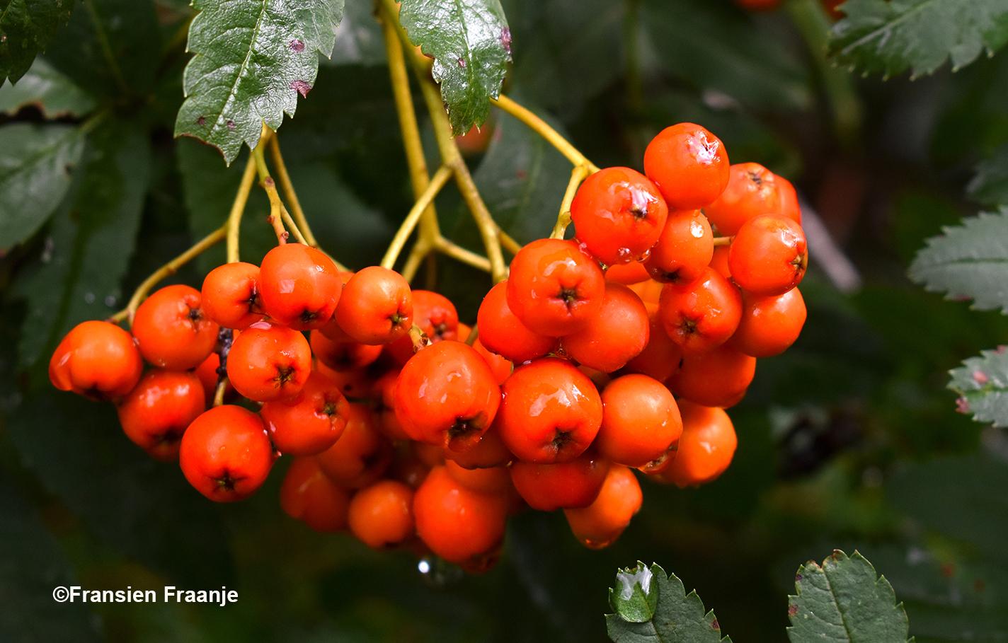 Een prachtige tros oranje lijsterbessen - Foto: ©Fransien Fraanje