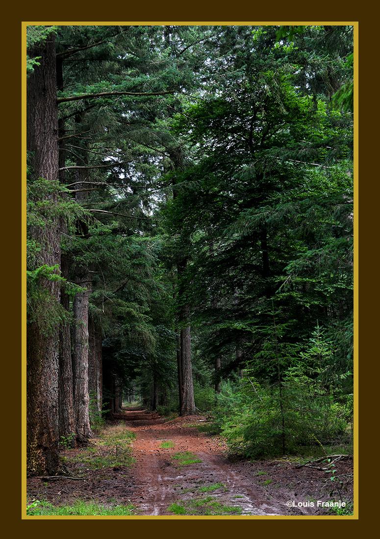 Prachtige Douglasbomen langs het bospad - Foto: ©Louis Fraanje
