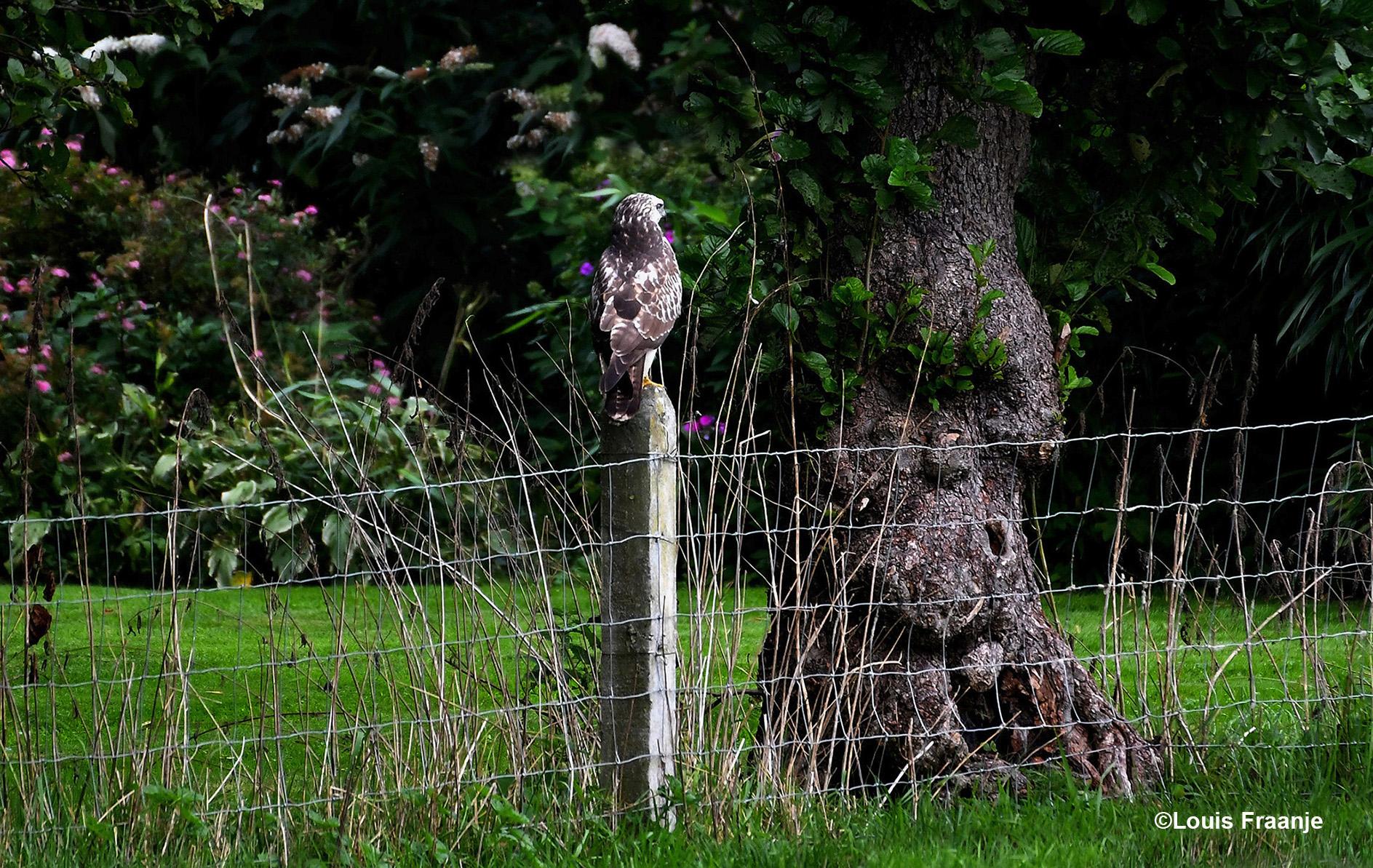 In een flits zagen we de buizerd op een heiningpaal zitten - Foto: ©Louis Fraanje