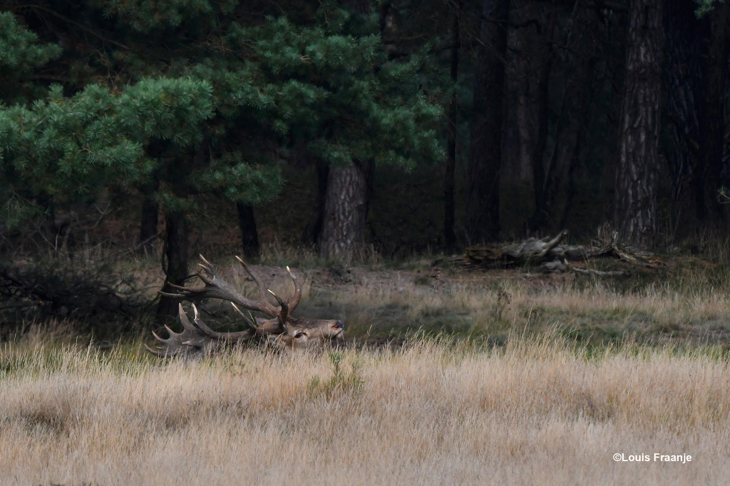 Zo troffen wij Hubertus aan, helemaal achterin bij de bosrand en nauwelijks zichtbaar - Foto: ©Louis Fraanje