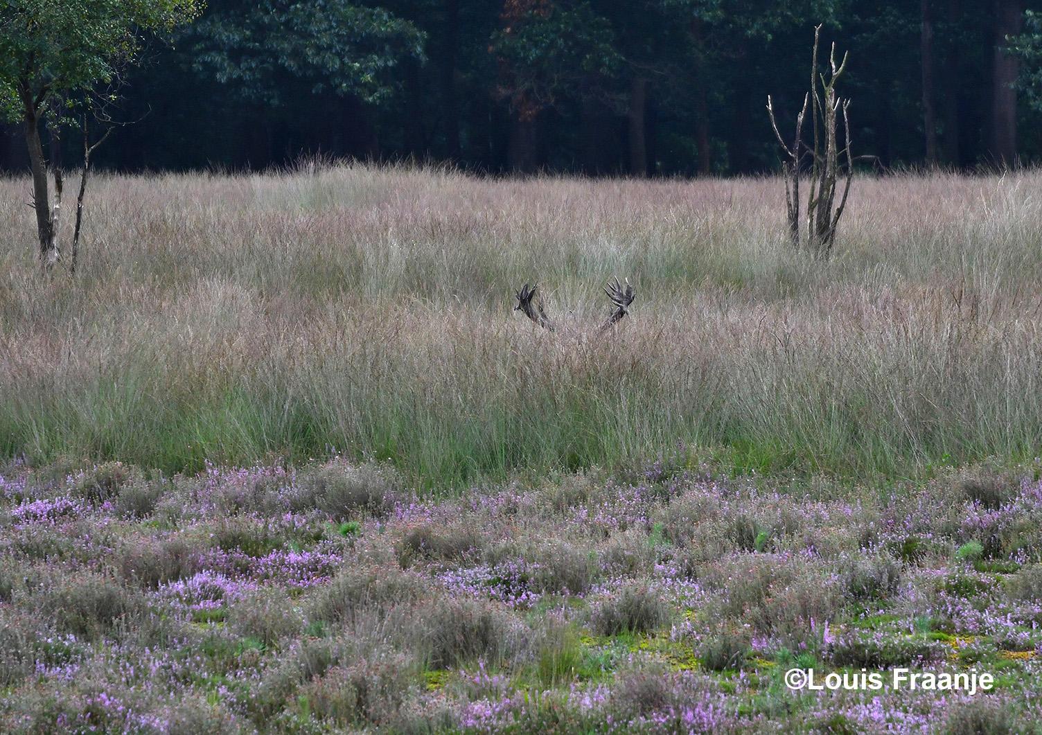 Alleen het gewei, dat een klein stukje boven het gras uit kwam, was zichtbaar - Foto: Louis Fraanje