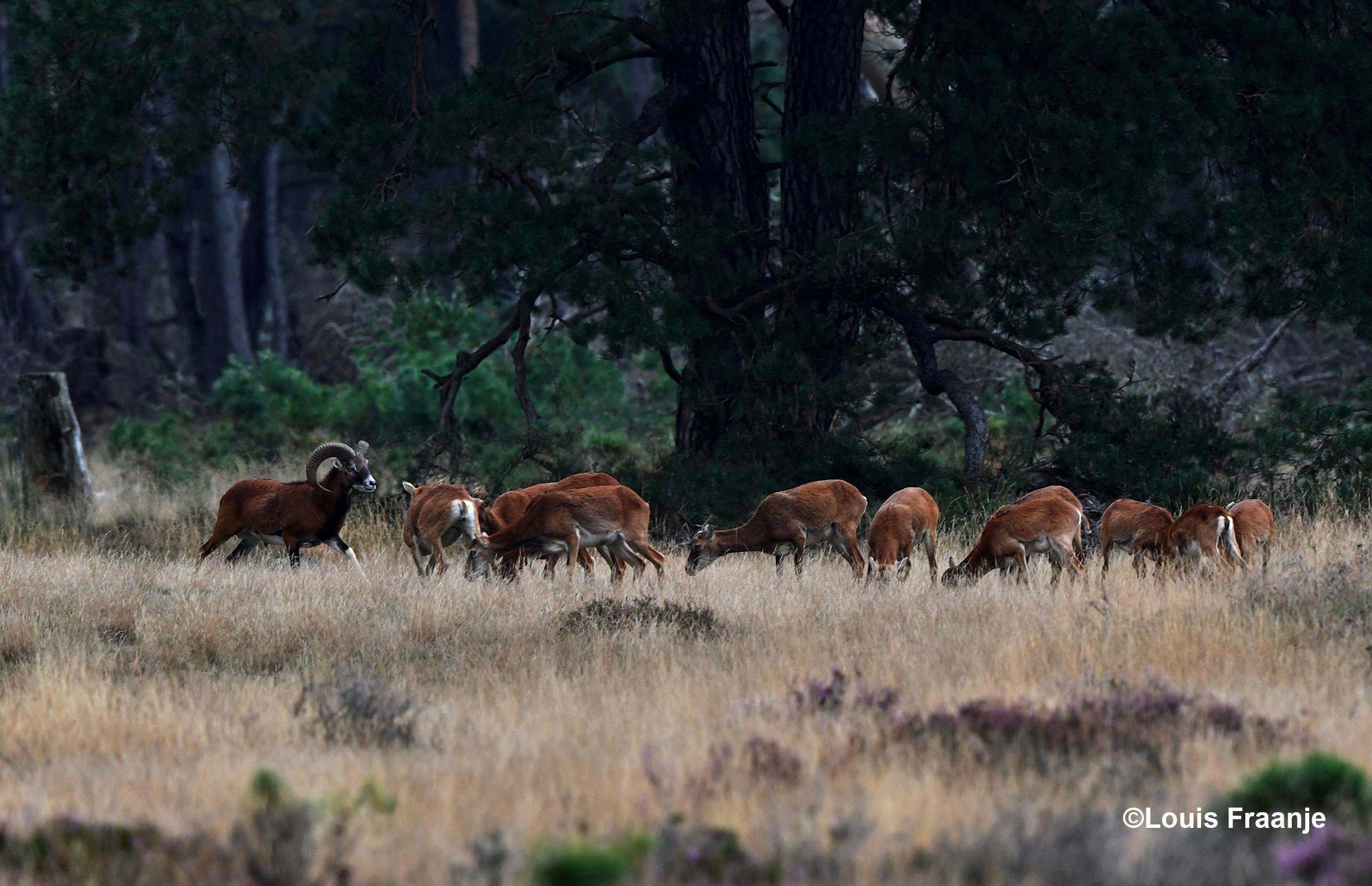 De moeflonram met zijn kudde ooien - Foto: ©Louis Fraanje