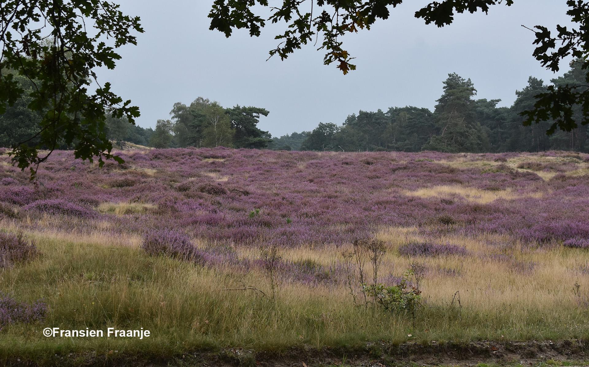 Mooie doorkijkjes en genieten van de paarse heide - Foto: ©Fransien Fraanje